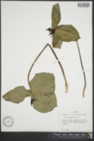 Image of Allium stamineum