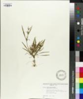 Image of Nicotiana linearis