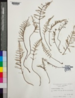 Image of Pellaea ornithopus