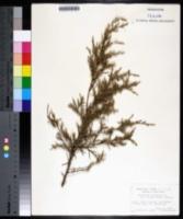 Juniperus virginiana var. crebra image