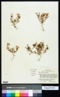 Phlox cuspidata image