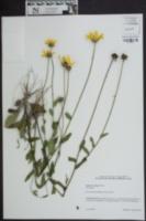 Rudbeckia fulgida image