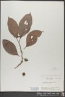 Doliocarpus olivaceus image