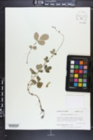 Agrimonia microcarpa image