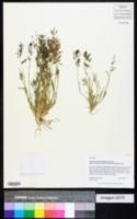 Eragrostis mexicana image