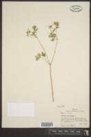 Geranium carolinianum image