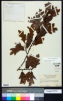 Quercus margaretta image