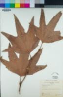 Platanus racemosa image