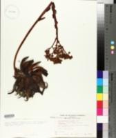 Image of Stylophyllum albidum