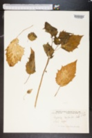 Physalis carpenteri image