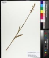 Platanthera lacera image