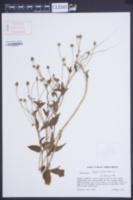 Image of Acmella ciliata