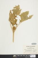 Image of Datura meteloides