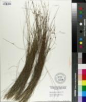 Image of Rhynchospora oligantha