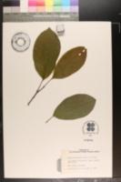 Image of Magnolia campbellii
