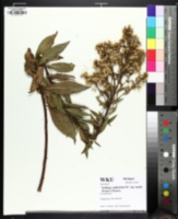 Image of Solidago spathulata