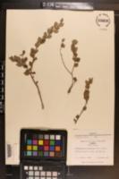 Crossopetalum ilicifolium image