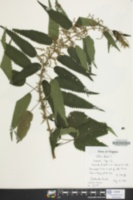 Urtica dioica image