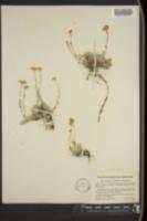 Image of Tanacetum nuttallii