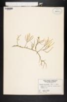 Image of Caulerpa cupressoides