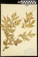 Amorphophallus rivieri image