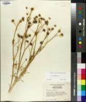 Ranunculus arvensis image