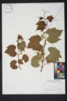 Image of Vitis acerifolia