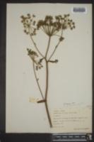 Angelica venenosa image