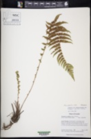 Image of Amauropelta rufa