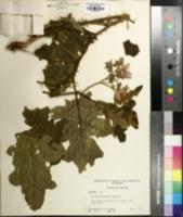 Image of Solanum floridanum