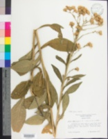 Image of Aster tataricus