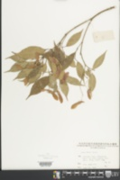 Image of Acer fabri