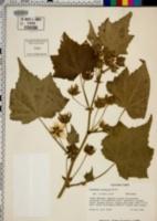 Image of Kitaibelia vitifolia