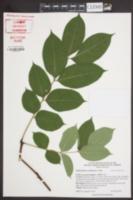 Image of Phellodendron sachalinense