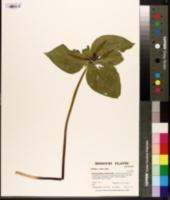 Image of Trillium viride