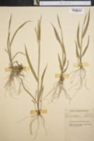Image of Panicum strigosum