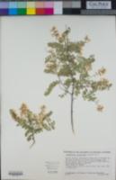 Eysenhardtia orthocarpa image