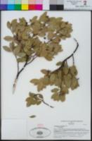 Arctostaphylos glandulosa image