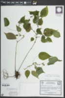 Boehmeria cylindrica image