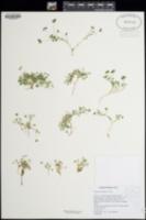 Image of Trifolium monanthum