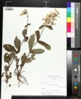 Image of Penstemon brevisepalus