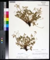 Oxalis articulata image