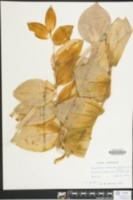 Polygonatum commutatum image