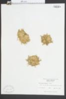 Callitriche deflexa image