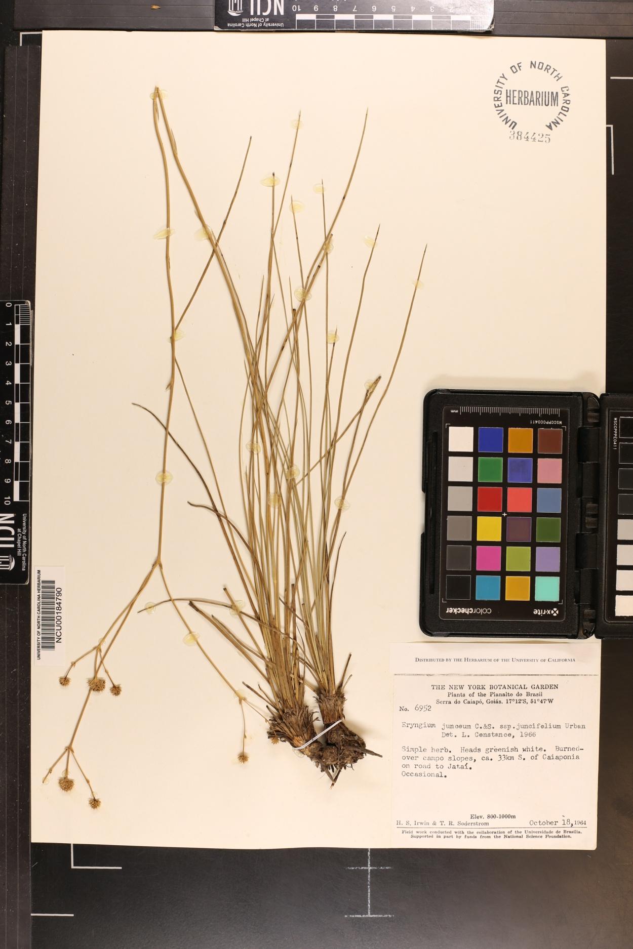 Eryngium juncifolium image