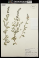 Salvia parryi image