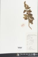 Image of Teucrium viscidum
