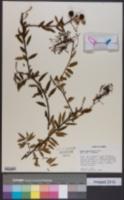 Image of Mabea angustifolia