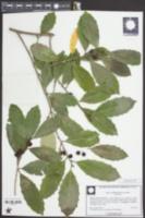 Image of Ilex pseudoumbelliformis