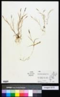 Image of Sporobolus piliferus